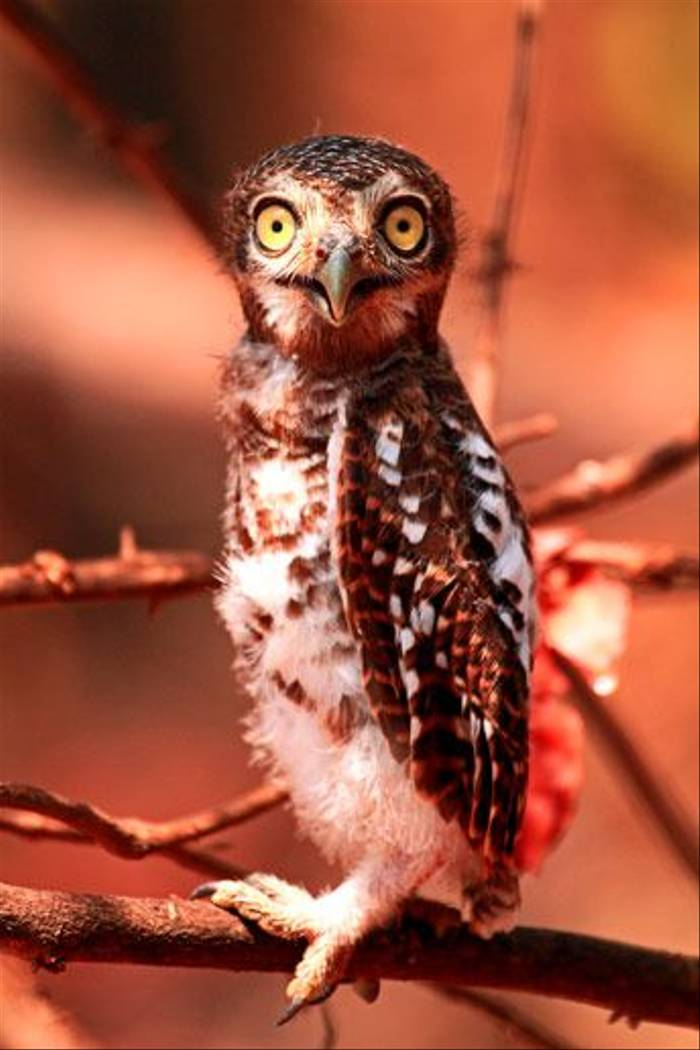 Juvenile African Barred Owlet (Bret Charman)