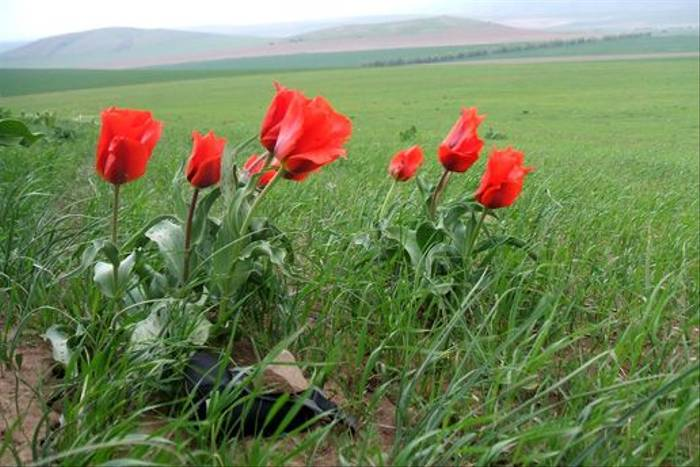 Tulipa gregeii (John Shipton)