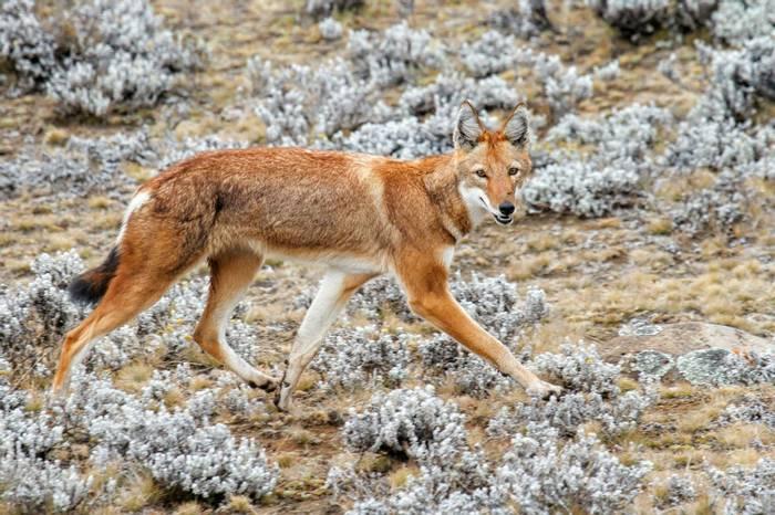 Ethiopian Wolf Shutterstock 1162244404 (1)