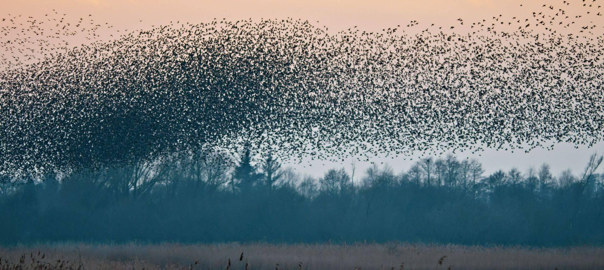Starling Murmuration, Somerset, England Shutterstock 562750975