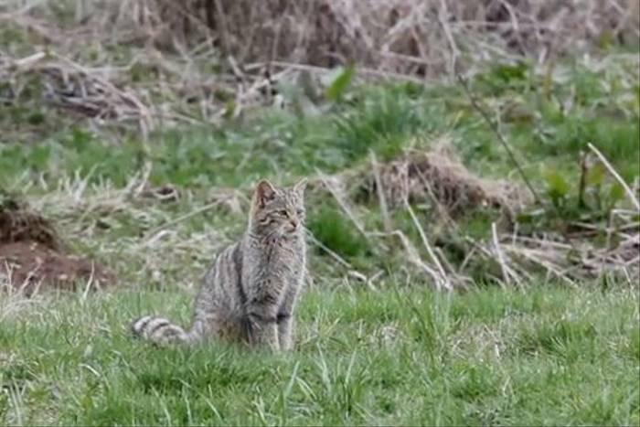 Wildcat, Navarra