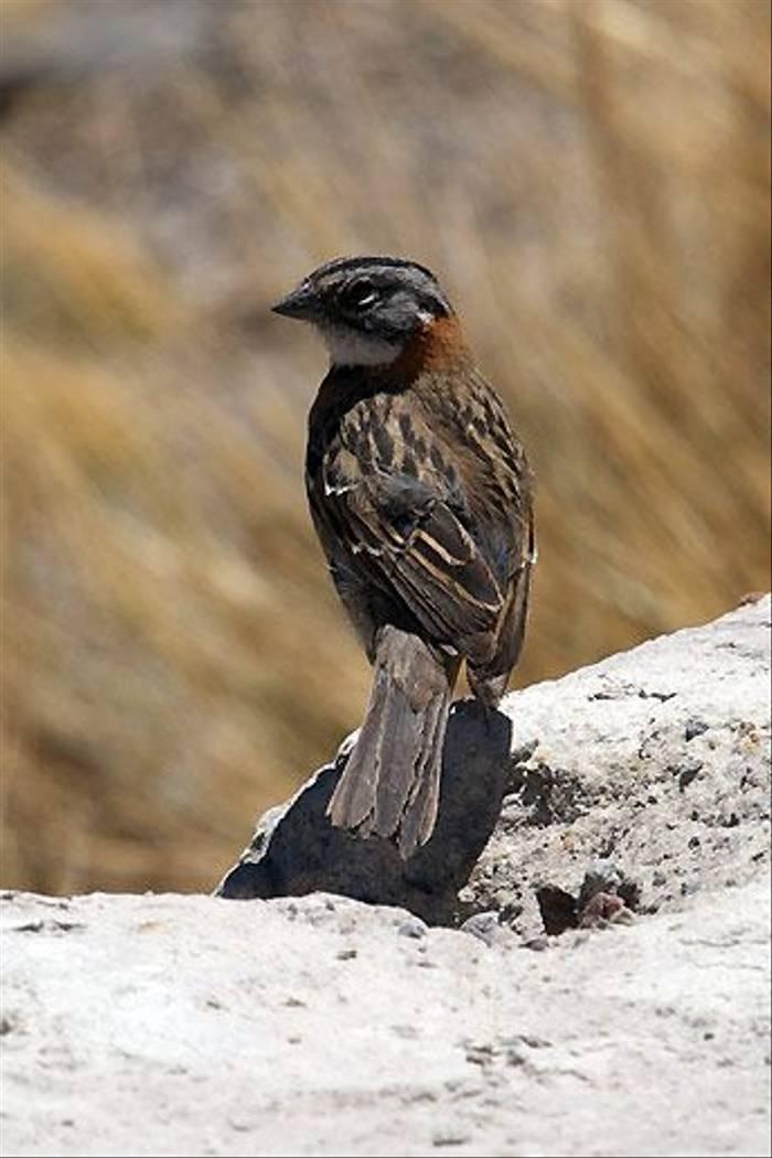 Rufous collared Sparrow (David Allison)