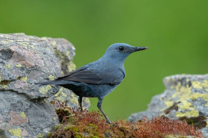 Blue Rock Thrush Shutterstock 1100779013