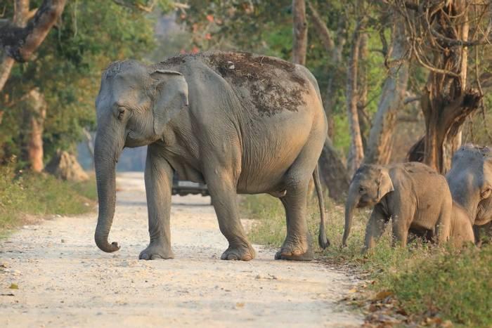 Asian Elephant (Sujan Chatterjee)