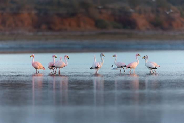 Puna Flamingoes, Mar Chiquita, Argentina shutterstock_1176929830.jpg