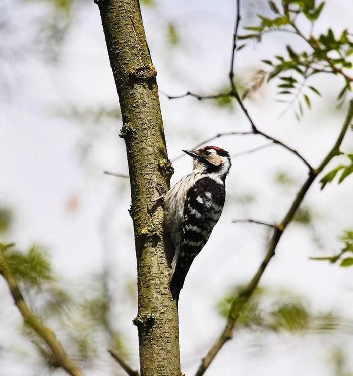 Lesser Spotted Woodpecker (Mark Elliot)