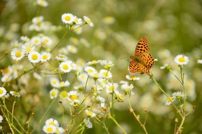 Queen Of Spain Fritillary Shutterstock 1115841209