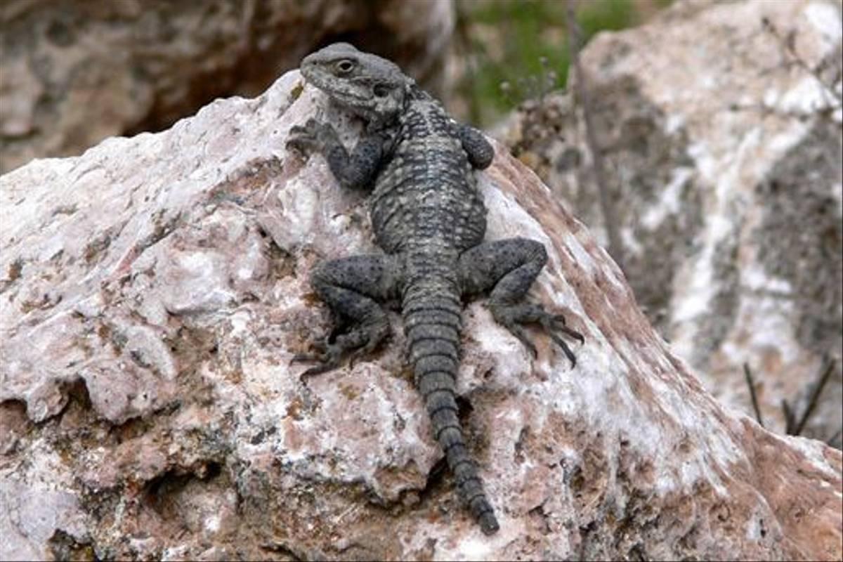Agama Lizard (Tim Melling)
