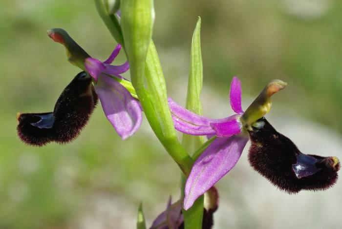 Bertoloni's Bee Orchid, Italy shutterstock_459736849.jpg