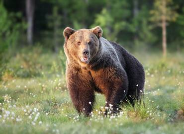 Finland - Just Brown Bears!
