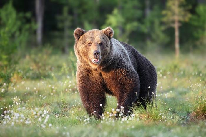 Brown Bear, Finland Shutterstock 404015833