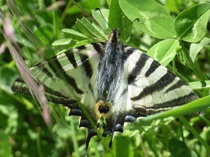 Scarce Swallowtail (Toby Abrehart)