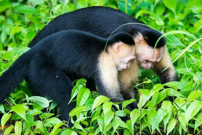 White-faced Capuchin Monkeys (Ian Talboys)
