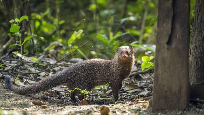 Grey Mongoose, Minneriya, Sri Lanka shutterstock_544744657.jpg