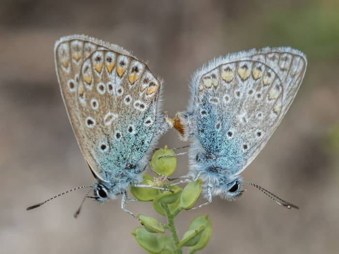 Common Blue Butterflies (Judith Rolfe)