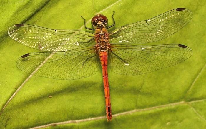 Sympetrum depressiusculum - Spotted Darter (Alan Outen)