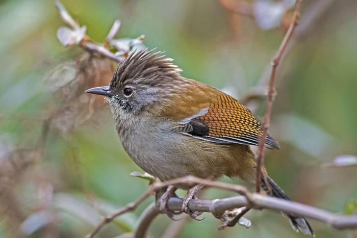 Hoary-throated Barwing, India shutterstock_785385283.jpg