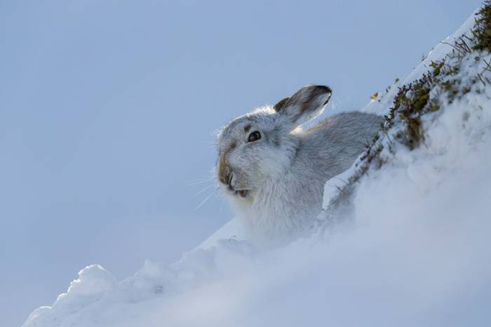 Mountain hare Lepus timidus, adult, resting in snowy bank, Findhorn Valley, Scotland in February.