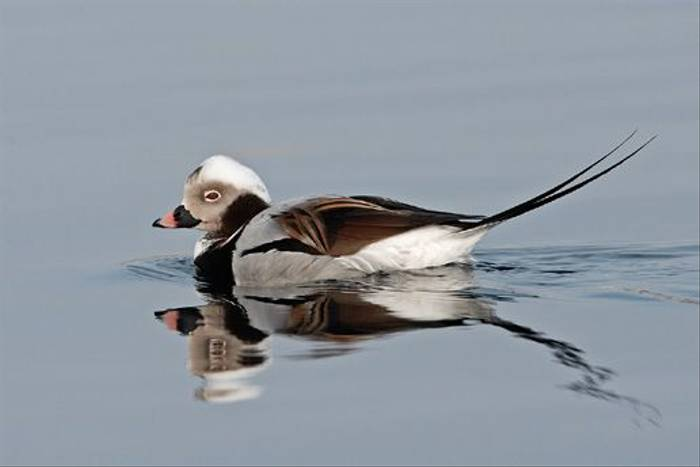 Long-tailed Duck (Jari Peltomaki)