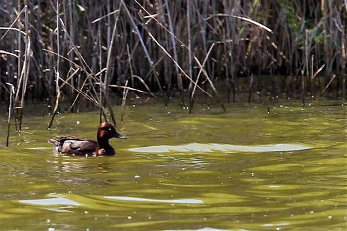Ferruginous Duck (Stuart Elsom)