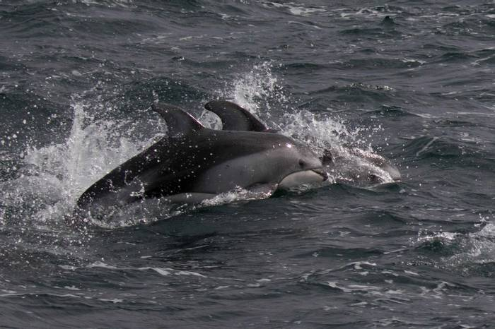Pacific white sided dolphins (Chris Hutchinson)