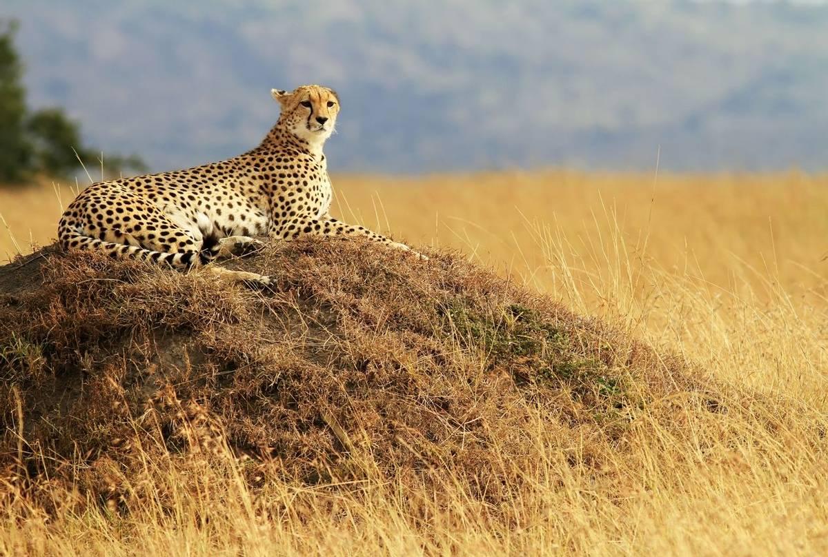 Cheetah, Masai Mara, Kenya (Bryan Busovicki)