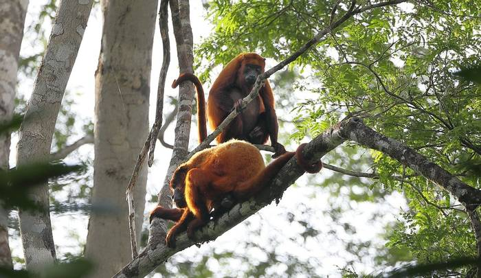 Howler Monkeys (Peter Stott)