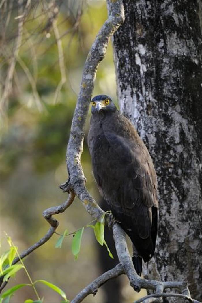 Crested Serpent Eagle, Bandhavgarh (Talat Khalid)