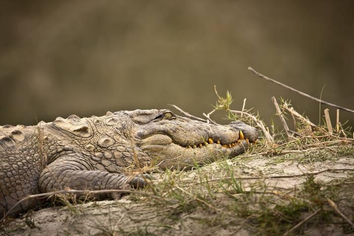 Marsh Mugger Crocodile, Bardia national park, Nepal. shutterstock.jpg