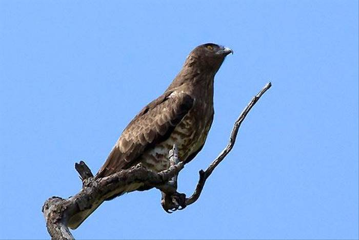 Short toed Eagle (Colin Brown)