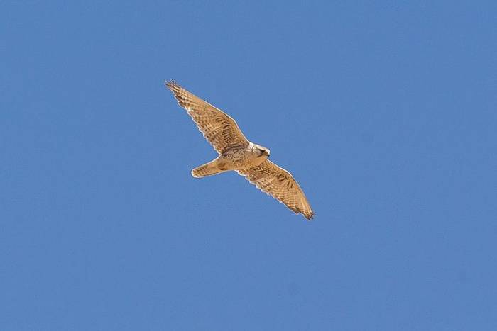 Saker Falcon (Alan Curry)