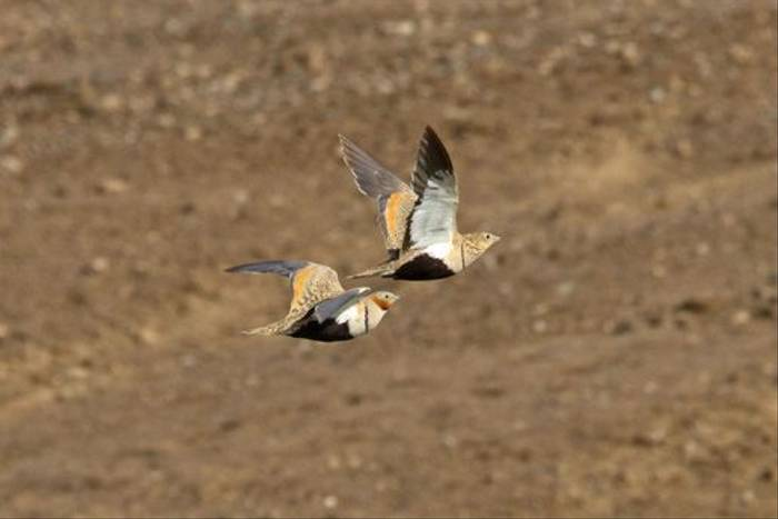 Black-bellied Sandgrouse (Alan Curry)