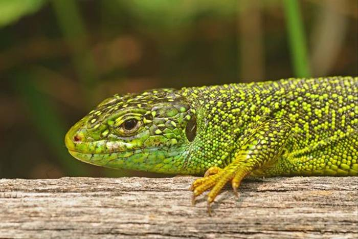 Western Green Lizard (David Morris)