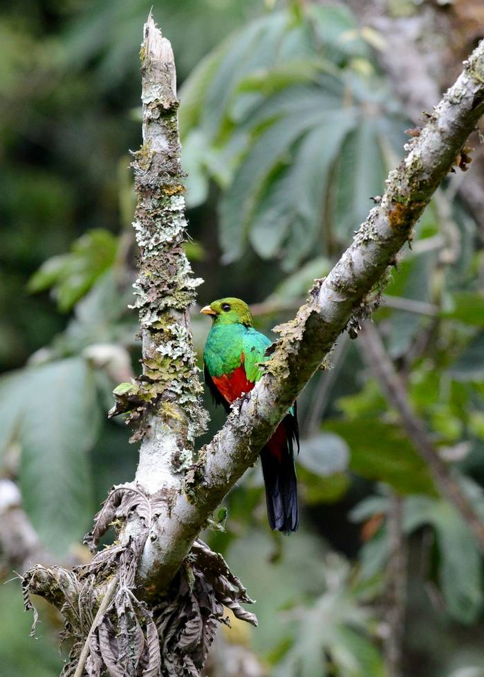 Golden Headed Quetzal (Stephen Woodham)