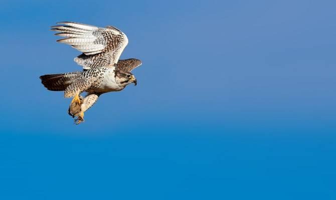 Saker Falcon Shutterstock 698764888