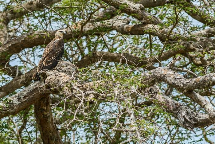 Grey-headed Fish Eagle, Sri Lanka shutterstock_1152243134.jpg
