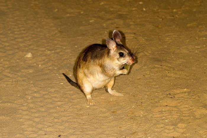Giant Jumping Rat, Kirindy (Jonas Christiansen)