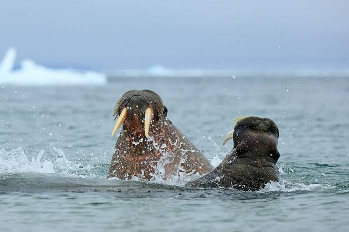 Male Walrus fight (Bret Charman)