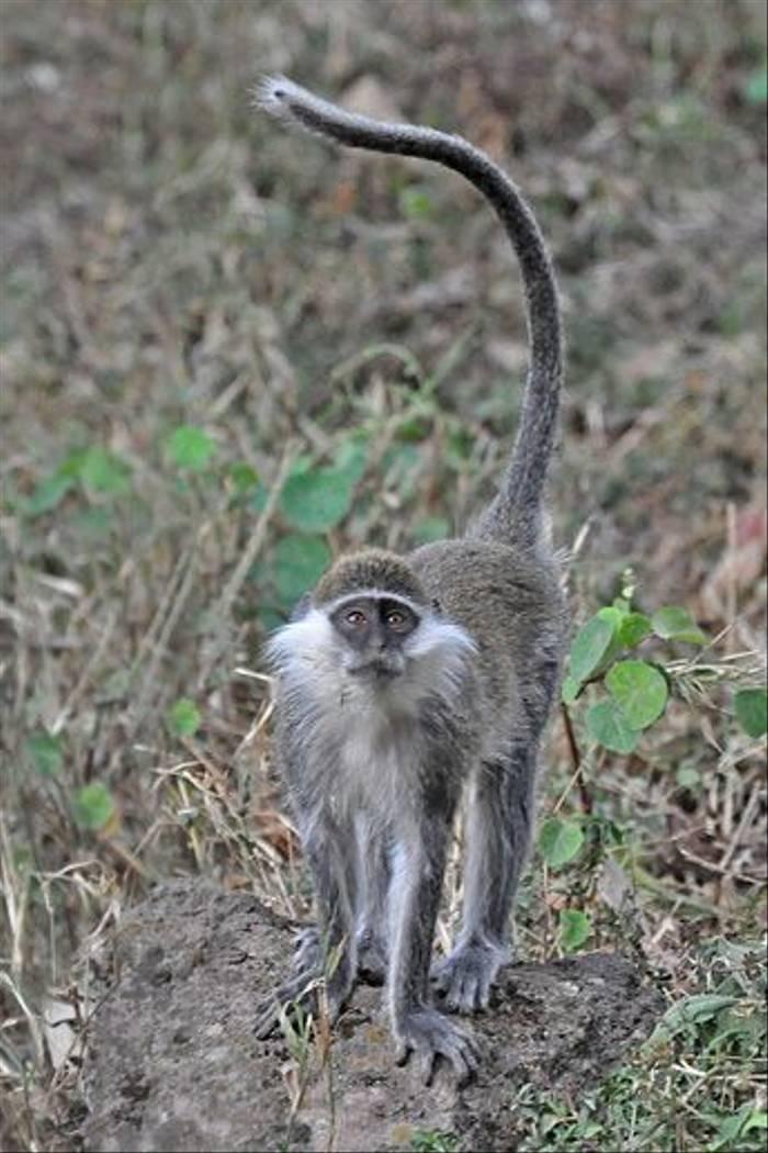 Grivet Monkey (Tim Melling)