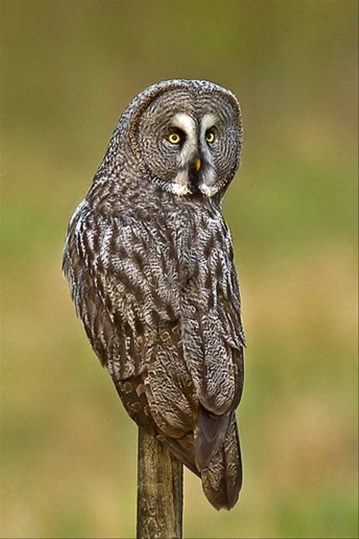 Great Grey Owl (Daniel Green)