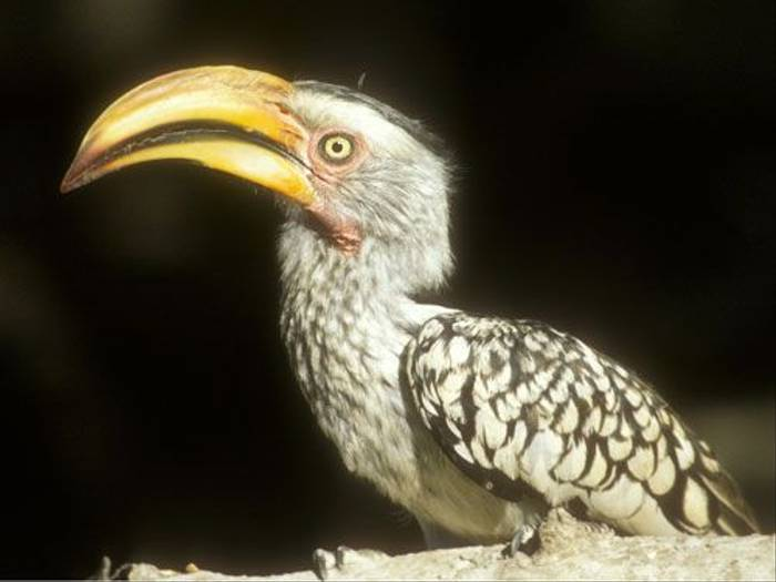 Yellow-billed Hornbill (Paul Stanbury)