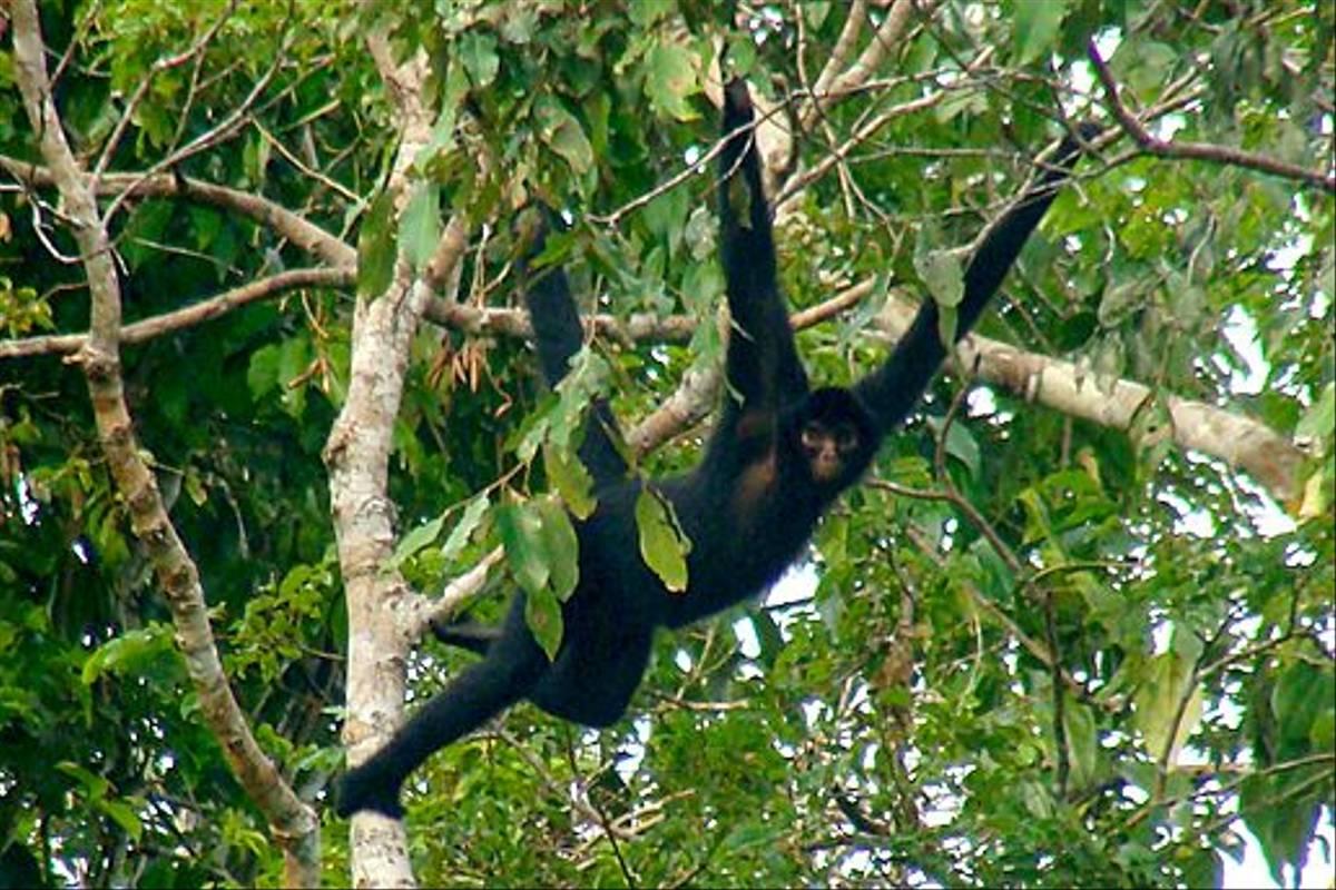 Black Spider Monkey (Kiera Griffin)