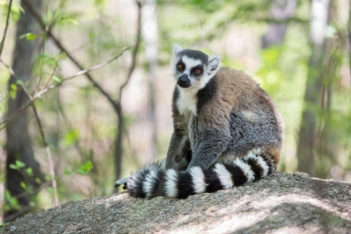 Ring-tailed Lemur (Aniket Sardana)