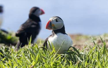 Puffins - Isle of Man