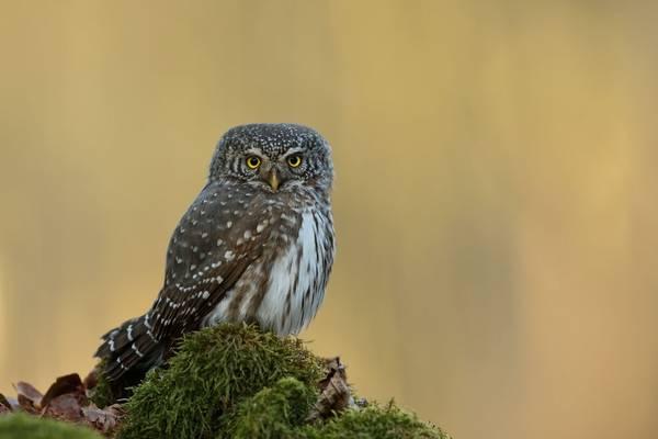Pygmy Owl shutterstock_1694905969.jpg