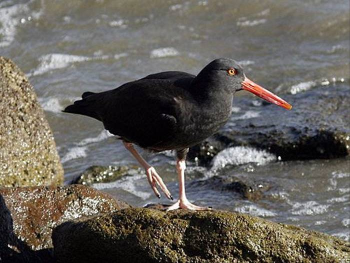 Black Oystercatcher (Peter Dunn)