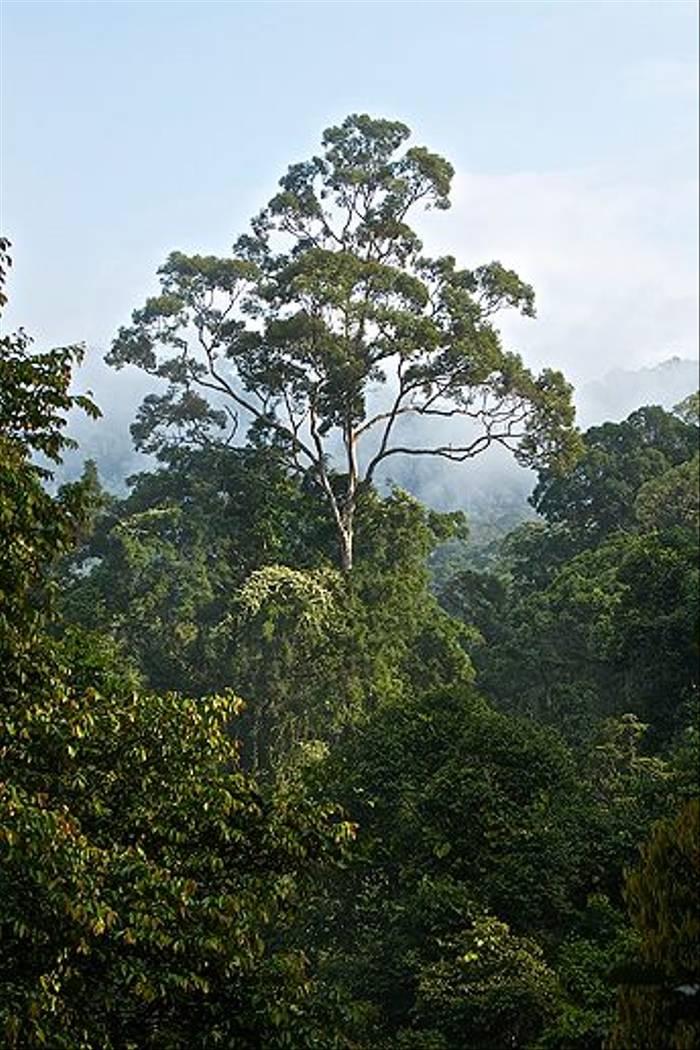 Borneo Rainforest (Dani Free)
