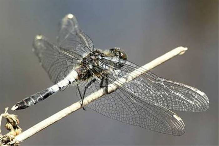 Lilypad Whiteface male