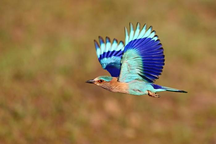 Indian Roller Shutterstock 658745938