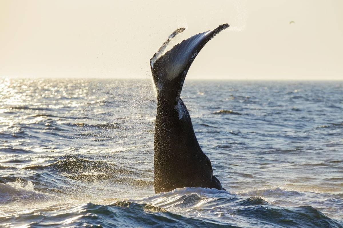 Humpback Whale, Cape Cod, USA Shutterstock 514471930